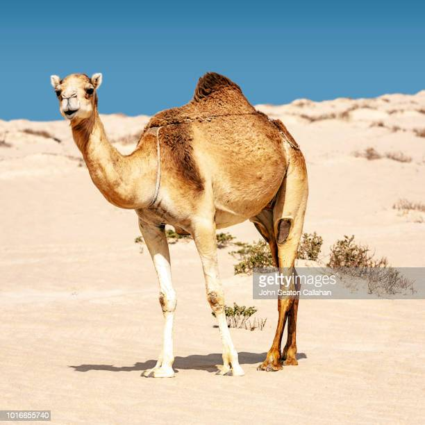mauritania, nouadhibou - camel stock pictures, royalty-free photos & images