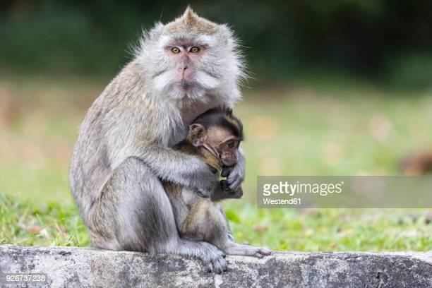 Mauritius, Black River Gorges National Park, long-tailed macaque, long-tailed macaques, mother with young animal