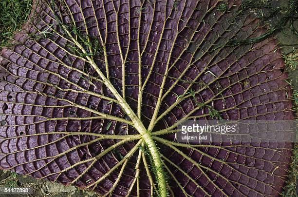 Blatt der Seerose Victoria Amazonica Botanischer Garten Pamplemousse
