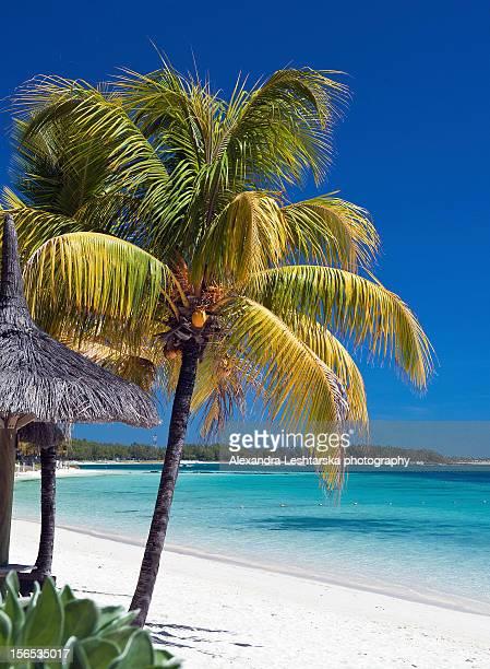 Mauritius palm trees