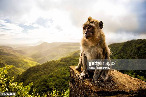 mauritius - primate stock pictures, royalty-free photos & images