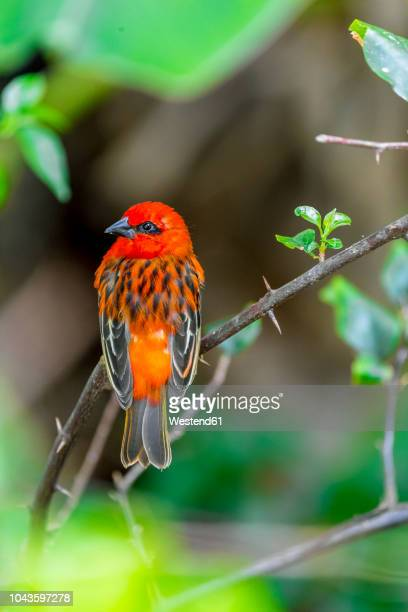 Mauritius, red fody, Foudia madagascariensis, perching on twig