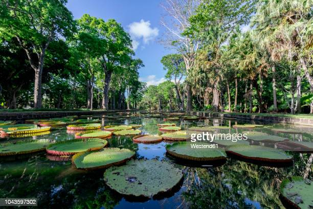 mauritius, sir seewoosagur ramgoolam botanical garden, leaves of amazonas giant water lily on pond, victoria amazonica - botanical garden stock pictures, royalty-free photos & images