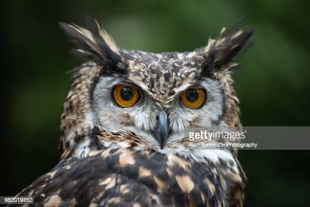 mavkinder eagle owl portrait - owl stock pictures, royalty-free photos & images