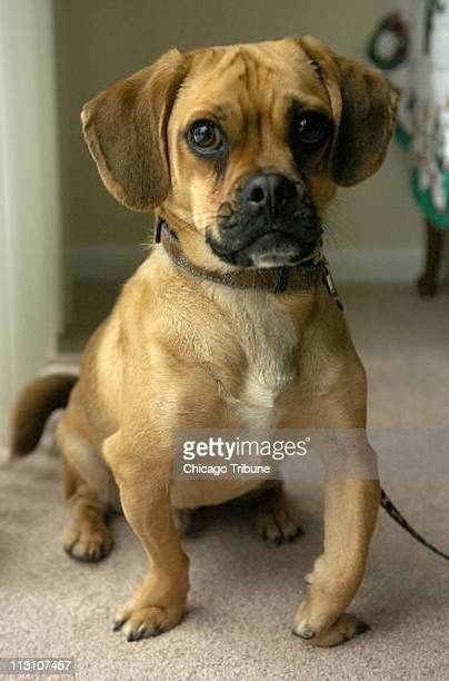 Max, a one-year-old Puggle, owned by Theresa Rogers of Schaumburg, Illinois, is a crossbreed beagle and pug.