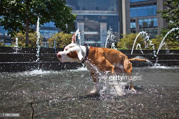 Max a red nose pitbull cools himself in the Columbus Circle fountain during a heat wave on July 12 2011 in New York City The National Weather Service...