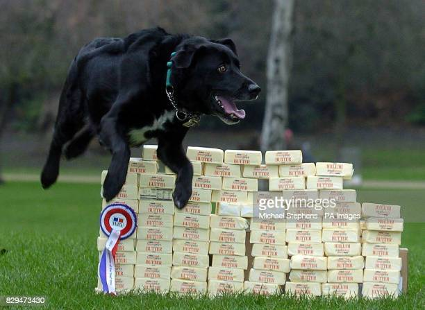 Max a threeyearold collieLabrador from Tayside Scotland jumping over 22Kg of butter the amount of weight he lost to be named joint winner