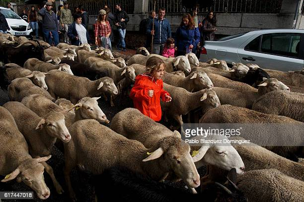 Max runs through a flock of sheep as they are mustered along the streets of Madrid city center during the annual livestock migration festival on...