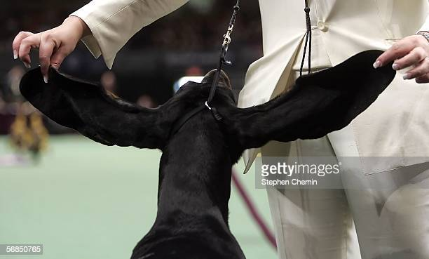 Max the Black and Tan Coonhound has its 26 inch earspan stretched as he waits to enter the ring for the Hound Group judging during the 130th...