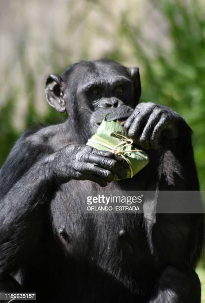 Max the chimpanzee eats a tamale brought by a visitor as a gift as part of a Christmas tradition at La Aurora Zoo in Guatemala City on December 19...