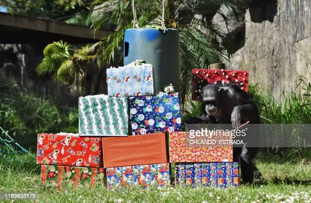 Max the chimpanzee opens a gift brought by a visitor as part of a Christmas tradition at La Aurora Zoo in Guatemala City on December 19 2019