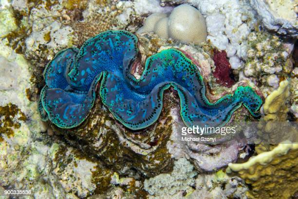maxima clam (tridacna maxima), to hal hal hal reef, safaga, red sea, egypt - invertebrate stock photos and pictures