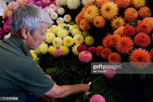 Maxine Hall from Heddon makes final preparations to a display of Dahlia during staging day for the Harrogate Autumn Flower Show on September 12 2019...