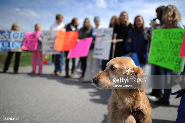May 12 2010 Amber a golden retriever is seen outside the Ontario SPCA Centre in WhitchurchStouffville where as many as a hundred people are...