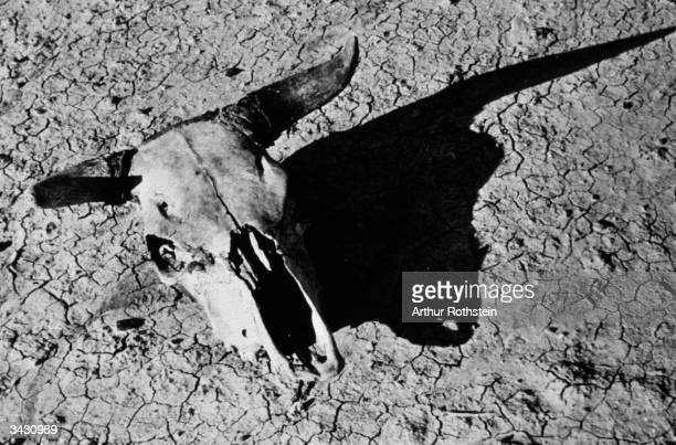 The bleached skull of a steer in the Badlands of South Dakota