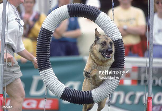 A dog jumps through a hoop during the Purina Incredible Dog Challenge at the South Fork Ranch in Dallas TexasMandatory Credit Ronald Martinez...