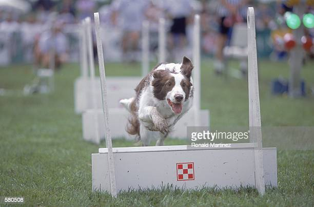 A dog leaps up over hurdles during the Purina Incredible Dog Challenge at the South Fork Ranch in Dallas TexasMandatory Credit Ronald Martinez...