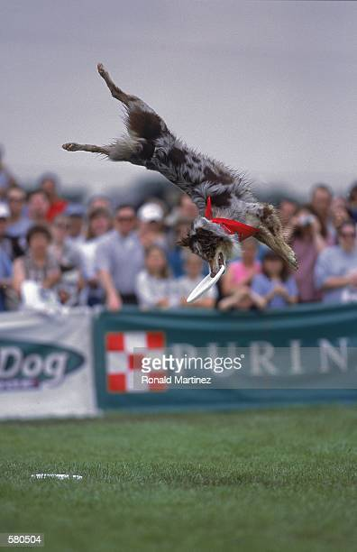 A dog leaps up to catch a frisbee during the Purina Incredible Dog Challenge at the South Fork Ranch in Dallas TexasMandatory Credit Ronald Martinez...