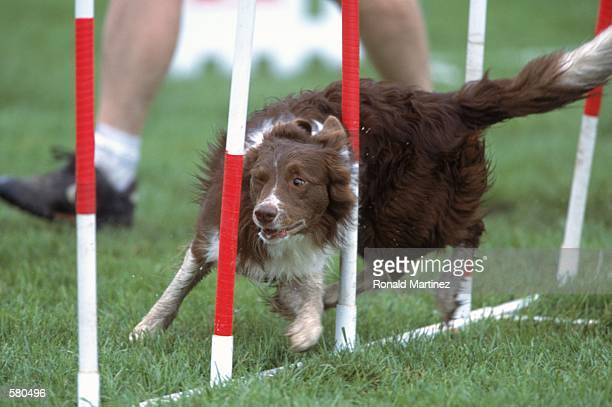 A dog navigates its way through an obsticle course during the Purina Incredible Dog Challenge at the South Fork Ranch in Dallas TexasMandatory Credit...