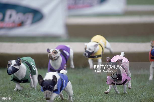 Dogs race against each other during the Purina Incredible Dog Challenge at the South Fork Ranch in Dallas TexasMandatory Credit Ronald Martinez...