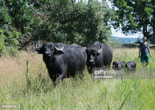 Animal caretaker and landscape gardener Maciej Grosser walking with the water buffalos Chloe and Babette and their calfs Christin and Billy across...
