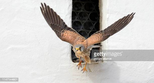 31 May 2019 BadenWuerttemberg Uttenweiler A kestrel male leaves his nest in the niche of a stained glass window while in the background there are two...