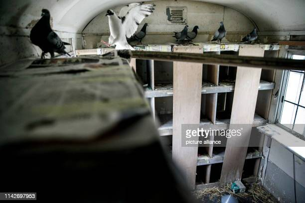 Pigeons fly in a supervised pigeon loft of the qualification company C.U.B.A.. In Berlin, there are currently managed dovecotes in some districts....