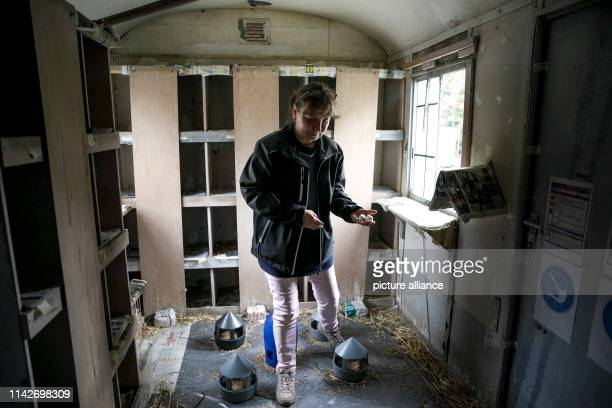 Team leader Doreen Maternowski controls the exchange of gypsum pigeon eggs in a nest in a supervised pigeon loft of the qualification company...