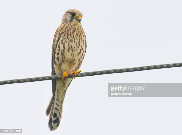 A kestrel stands on a power line Photo Patrick Pleul/dpaZentralbild/ZB