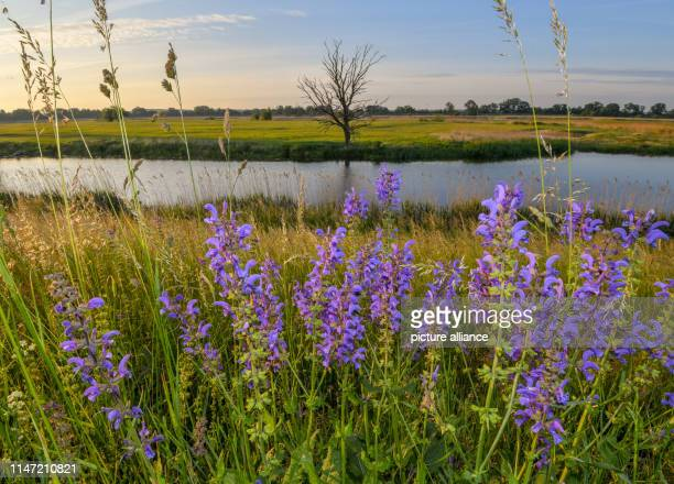Meadow sage blooms shortly after sunrise on the dike near the GermanPolish border river Oder Photo Patrick Pleul/dpaZentralbild/ZB