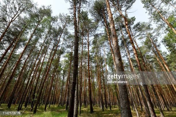 "May 2019, Brandenburg, Treuenbrietzen: Pines grow in monoculture in a forest near Treuenbrietzen. Topics of the BUND press trip included ""The forest..."