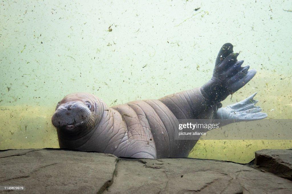 DEU: Walrus Baby