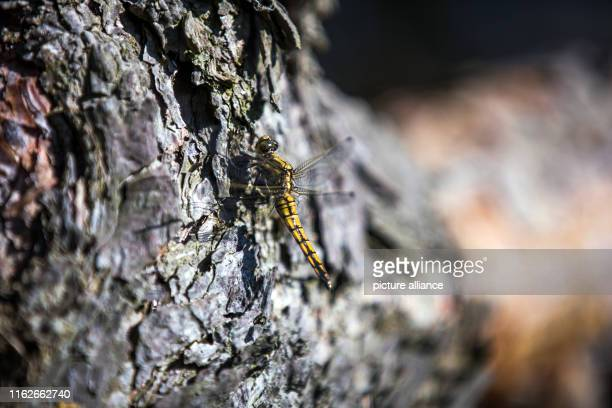 May 2019, Mecklenburg-Western Pomerania, Boek: A dragonfly sits on the bark of a tree in a forest in the Müritz National Park. Founded in 1990, the...