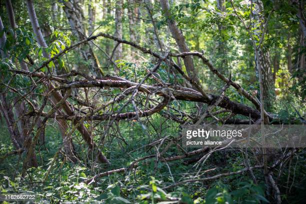 May 2019, Mecklenburg-Western Pomerania, Boek: A fallen tree which is now weathered lies in a forest in the Müritz National Park. Founded in 1990,...