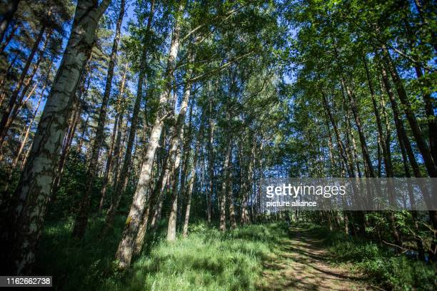 May 2019, Mecklenburg-Western Pomerania, Boek: Birch trees stand in a forest in the Müritz National Park. Founded in 1990, the Müritz National Park...