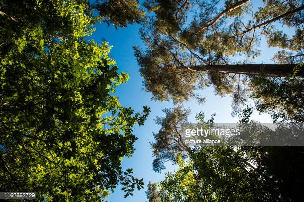May 2019, Mecklenburg-Western Pomerania, Boek: Deciduous and coniferous trees stand in a forest in the Müritz National Park. Founded in 1990, the...