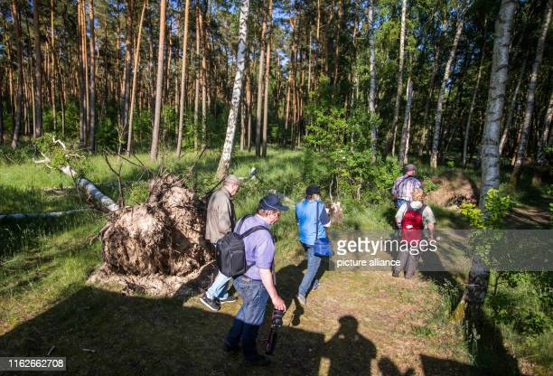 May 2019, Mecklenburg-Western Pomerania, Boek: Holidaymakers walk past a fallen tree which is now weathered in a forest in the Müritz National Park....