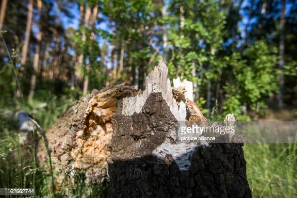 May 2019, Mecklenburg-Western Pomerania, Boek: Remains of trees stand in a forest in the Müritz National Park. Founded in 1990, the Müritz National...