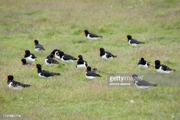 May 2019, Schleswig-Holstein, Dagebüll: Oystercatchers sit on a salt marsh on the Hallig Langeness. The 11,500 square kilometre Wadden Sea stretches...