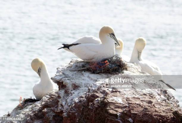 May 2019, Schleswig-Holstein, Helgoland: A bass gannet sits on a nest with plastic remains. Plastic parts are used in almost all bass gannet nests on...