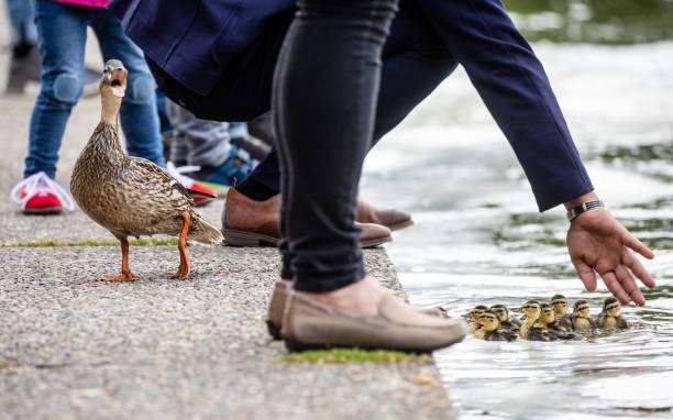 DEU: Duck Family In Distress