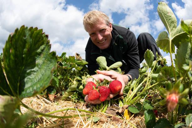 DEU: Strawberries For Self-Picking - Season Begins In Lower Saxony