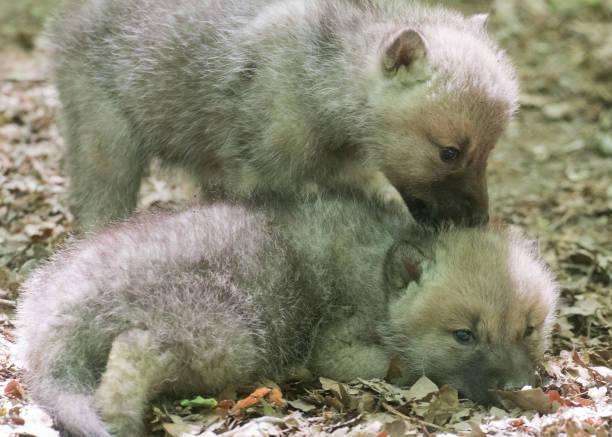 DEU: Wolf Offspring In The Zoo Stralsund