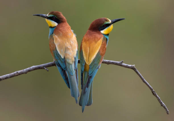 DEU: Bee-Eaters South Of Frankfurt