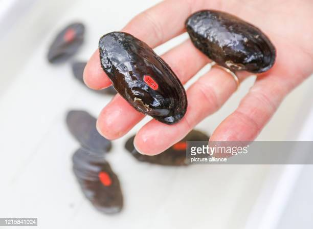 An employee of the breeding station holds marked river pearl mussels in his hand before they are released into the wild On the same day the release...