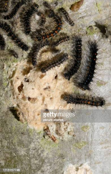 Caterpillars of the sponge moth near their nest on the bark of a red oak From there they migrate to the treetops whose leaves they consume until the...