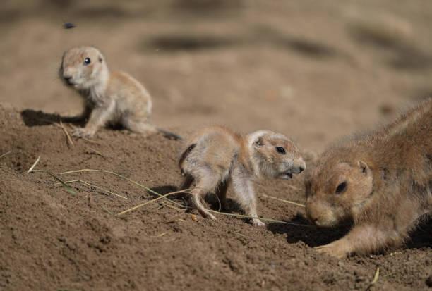 DEU: Offspring Of Prairie Dogs In Zoo