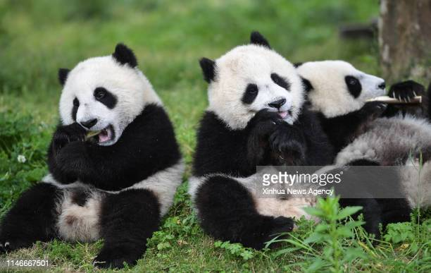 1 357 Baby Panda Photos And Premium High Res Pictures Getty Images