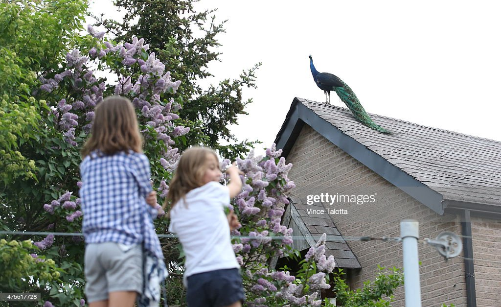 Peacock on the loose : News Photo