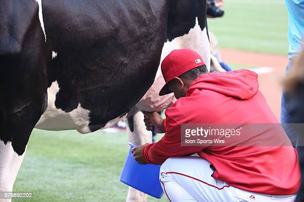 Los Angeles Angels of Anaheim Outfield Alfredo Marte [7711] milks a cow at home plate before the game during the game between the Detroit Tigers and...